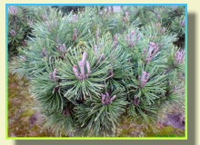 BRODA the reproduction of coniferous and deciduous trees